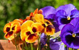 El Pensamiento y la Viola, una flor de invierno con un amplio abanico de colores