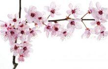 Sakura y la llegada de la Primavera
