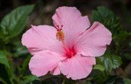 El Hibisco, cuándo incorporarla en nuestro jardín
