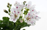 Pelargonium Crispum, una variante del Geranio que repele insectos