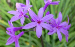 Tulbalgia, sustitutiva del ajo y repelente de insectos