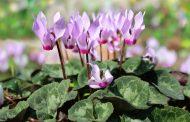 Aprende a cuidar esta bella planta de aspecto delicado, el Cyclamen