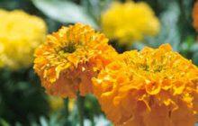 Flor de santidad y limpieza espiritual, el Tagete
