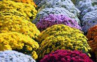 Cristantemo, flor de todos los santos