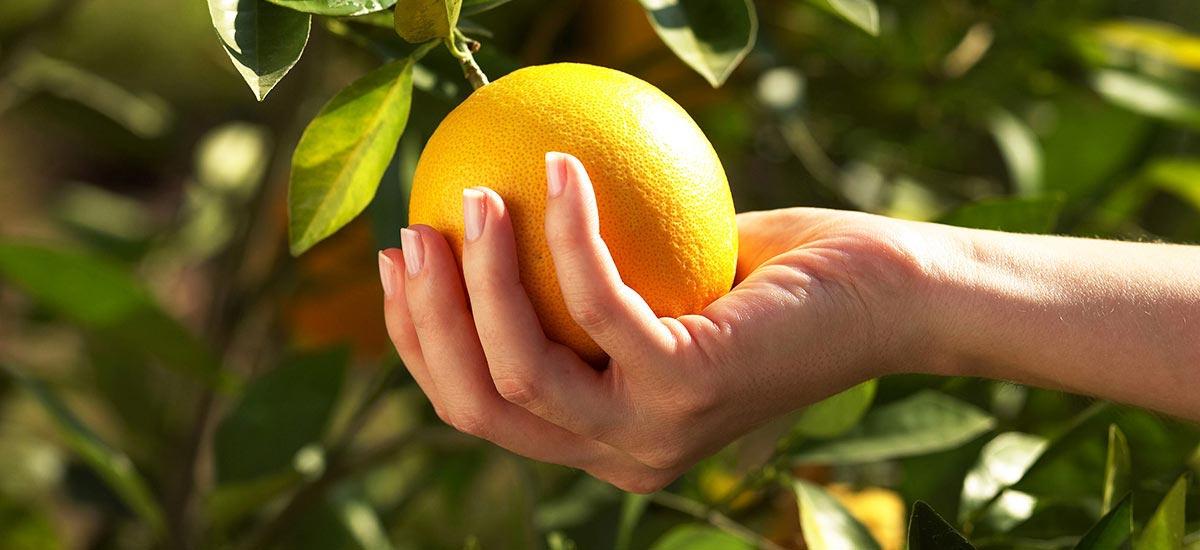 Citrus sinensis navel, conocido comúnmente como navelina