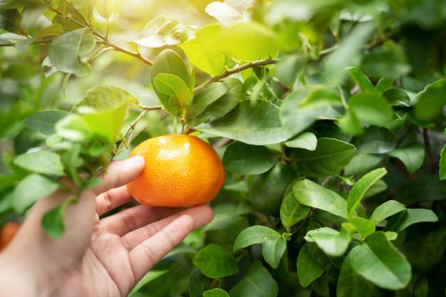 Clementina, una fruta entre la mandarina y la naranja
