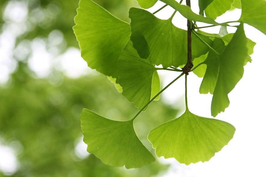 El ginkgo biloba, el árbol de la longevidad
